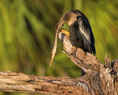 I Just Feel So Low (J Baker Photography) Tags: florida wetlands snakebird underwater flyer anhinga