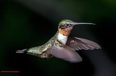 Ruby-Throated Hummingbird (rumerbob) Tags: hummingbird bird birdwatching birdwatcher rubythroatedhummingbird wildlife nature naturewatcher peacevalleypark lakegalena canon7dmarkii canon100400mmlens