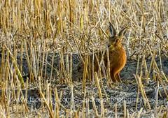 Hare again (c9mpc) Tags: hare hares lincolnshire wildlife wild animal mammal golden brown british illusive