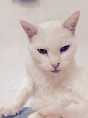 Snow White - 12 year old spayed female