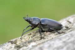 femelle de Lucanus cervus (chug14) Tags: animalia arthropoda hexapoda insecta coleoptera lucanidae lucane cerfvolant cornard scarabaeuscervus lucanuscervus