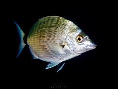SARGO PICUDO(DIPLODUS PUNTAZZO) (J.C.RUBIO) Tags: naturaleza underwater olympus fish