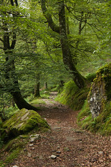 (Rocío AR) Tags: cantabria saja besaya moody landscape forest beech beeches moss stone road fern