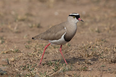 White-headed lapwing (Vanellus albiceps) (www.clivetemple.com) Tags: crowned lapwing
