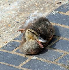 Quack! (RiverCrouchWalker) Tags: duckling quack enfield mallard duck bird wall bricks sunbathing snoozing july 2017 summer