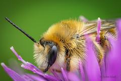 Eine Drohne der Hosenbiene (Dasypoda) auf ihrem Schlafplatz, einer Blüte der Flockenblume (Centaurea) (AchimOWL) Tags: bee makro macro insekt insekten natur gh5 panasonic lumix wildlife schärfentiefe tier outdoor biene ngc macrodreams wildbiene nature dmcgh5 flockenblume blume blüte schlafplatz centaurea korbblütler asteraceae asternartige asterales rauhfusbiene focusstacking stack echtebiene apidae