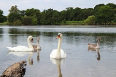 The beauty of nature (beatricebergamasco) Tags: uccelli lake nature beautiful swans sky summer london londra granbretagna greatbritain swan cigni richmondpark animals beauty wonder love uk capital photography photographypassion photo photos fotografia fotografie travel travelphotos famous scene europe landscape natura tourism magic thebeautyofnature canon eos1300d birds