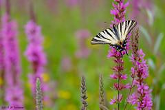 Couleurs d'été (jpto_55) Tags: papillon flambé proxi bokeh xe1 fuji fujifilm fujixf55200mmf3548rlmois hautegaronne france ngc