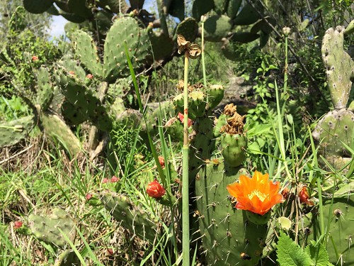 Nopal cactus with fruit and flowers