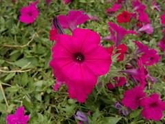 2017-07-17-10130 (vale 83) Tags: petunia flowers nokia n8 macrodreams friends autofocus coloursplosion colourartaward flickrcolour beautifulexpression