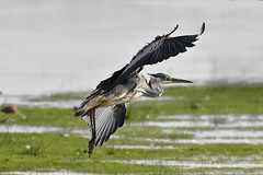 Grey Heron  2017-07-26_02 [Explored 2017-07-28] (Jan Thomas Landgren) Tags: birds bird fåglar fågel fauna aves animal animals avifauna nature natur nikon nikond500 d500 tamron tamron150600mm wildlife wetlands wetland outdoor halland sweden sverige trönningeängar ardeacinerea heron greyheron häger flight