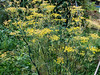 Fennel, bronze (Elise de Korte) Tags: fr france frankrijk ldf lafrance bloei bloeien fennel fenouil flowering plant venkel