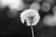 bejeweled dandelion (ladybugdiscovery) Tags: bw dandelion fluff seeds dewy dew drops bokeh macro hmbt