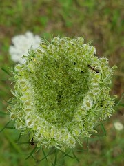 come into my parlor (xzna) Tags: queens anne lace ant macro flower freinds