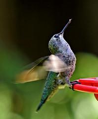 Little diva (mariposa lily) Tags: hummingbird hummingbirds hummer hummers hum bird birds backyardbirds nikon nikond3300 d3300