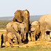 Elephants walking together in a line