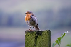 Little Bird (jp appleton photography) Tags: greatoutdoors wildlife nature bokeh red little robin bird