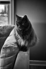 Always Watching (flashfix) Tags: july082017 2017inphotos ottawa ontario canada nikond7100 nikon 40mm cat fyero ragdoll nebelung feline monochrome portrait couch water animal pet fluffy ragamuffin babygirl
