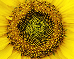 Sunflowers do the math, their spiraling seed patterns are Fibonacci sequences (hz536n/George Thomas) Tags: 2017 canon canon5d ef100mmf28lmacrois flora michigan ogemawcounty prescott summer copyright cs6 flower macro nik sunflower upnorth fibonacci sequence math genius