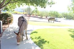 7-13-17 depot visitors (EllenJo) Tags: donkeys burros clarkdaleburros canonrebel july13 2017 ellenjo verdecanyonrailroad depot traindepot equine