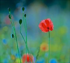 Colours (Edinburgh Photography) Tags: nature outdoors flowers poppies victoria park nikon d7000