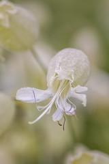 Silène enflé (s_berube) Tags: silene vulgaris bladder campion caryophyllacées fleurs flower