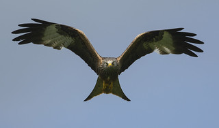 Red kite - View to a kill