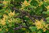 Blossom I-a : Tree of Heaven (theReedHead) Tags: thereedhead ailanthus realism zeiss135mmsonnar zeisssonnar zeissze sonya7rii sonya7rmarkii zeissclassic zeiss135mmf2 zeiss135mmf2sonnar treeblossoms treebranches treefoliage yellowblossoms ailanthusaltissima earlysummer treeofheaven zeiss135mm botanical botany milwaukeephotographers wisconsinphotographers blossoms foliage nature flora flowering blossoming flowers floral