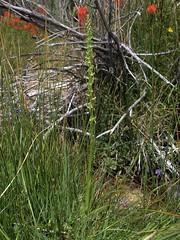 Great Basin bog orchid, Platanthera tescamnis (Jim Morefield) Tags: bishop california unitedstates us orchidaceae orchidfamily platanthera platantheratescamnis wfgna flora wildflower wildflowers cnpsok angiosperm monocot plant flowers flower blossom bloom greatbasinbogorchid geophyte succulent riparian desert wetland monocounty whitemountains marblecreek hammilvalley greatbasin spring eswild olympus evolt e510 olympuse510 jdm20161685 taxonomy:family=orchidaceae taxonomy:genus=platanthera taxonomy:binomial=platantheratescamnis taxonomy:common=greatbasinbogorchid geo:alt=1660m green 6petals oddshaped longcluster