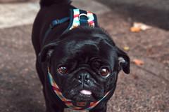 Pita 💋 ([ Romy.na II ]) Tags: dog animal doglover pug portrait