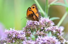 Gatekeeper feeding. (pstone646) Tags: butterfly nature insect animal fauna flower wildlife bokeh plant feeding ashford kent closeup