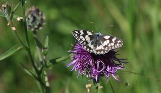 Marbled White Butterfly      (Melanargia galathea)