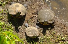 Who Goes There? (ChicaD58) Tags: dscf9419a turtles curious sunning lakeside areyougoingtofeedustoo arboretum spring slider yellowbellliedslider