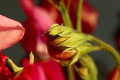 Sweet pea buds (AngharadW) Tags: green red pink goldenhour angharadw dof macro sweetpea bud flower
