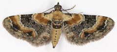 Eupithecia linariata, Toadflax Pug, Dovey Junction, North Wales, July 2017 (janetgraham84new) Tags: eupithecia linariata toadflax pug geometridae