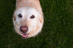 Edit -1-2 (Dane Van) Tags: abby dog goldenretriever canon 5d canon5d 35mm