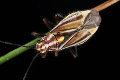 Horistus orientalis (chug14) Tags: animalia punaise arthropoda hexapoda insecta hemiptera heteroptera miridae mirinae mirini cimexorientalis horistusorientalis unlimitedphotos
