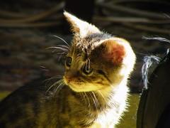 Morning light (rospix+) Tags: rospix 2017 july wales uk animal cat tabby tabbycat kitten tribble cute light face eyes portrait