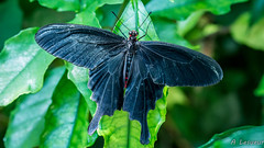 Atrophaneura aristolochiae (Shoot Enraw) Tags: atrophaneuraaristolochiae papillonsasie 10500mmf28 macrophotographie nature