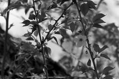 (lemonhats) Tags: asahipentaxsp spotmatic smctakumar35135 marumimcy2 fomapancreative200 kodakd76 1250 f56 classicslr vintagecamera classiclens vintagelens 135mmf35 m42screwmount manualfocusprimelens telephotolens yellowcontrastfilter iso200 白黒、blackandwhite 35mmprintfilm homedevelopment traditionalphotography analoguephotography filmphotography filmisnotdead filmisalive shootfilm believeinfilm filmcommunity filmforever fpper walking hikarigaokapark nerimaku tokyoto japan springtime cherryblossoms sakura