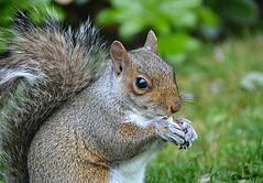 Lunch in the Park (Eleanor (No multiple invites please)) Tags: squirrel greysquirrel portrait regentspark london nikond7100 may2017