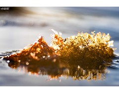 All That Glitters Is Gold (red stilletto) Tags: oceangrove thebellarine sea sand ocean seaweed sunrise reflection reflections oceangrovebeach