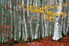 El bosque intrincado (Mimadeo) Tags: forest beech autumn dense leaves trees tree thick rambling red yellow log shaggy seasonal matted intricate