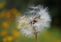 Dandelion Seeds (Kat~Morgan) Tags: seeds deandelion nature bokeh macro sonya3000