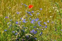 Colorful meadow (Jurek.P) Tags: meadow colours countryside mazury masuria nature natura poland polska flowers poppies summer lato jurekp sonya77