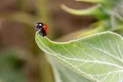 Coccinelle à Nailloux (billybichon) Tags: coccinelle nailloux lauragais canon 100d sl1 ladybug