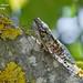 Cicada orni (Linnaeus, 1758) (Marcello Consolo) Tags: