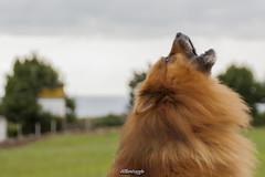 _MG_9943 (_vicenmiranda) Tags: dog perro rural sunset cudillero asturias