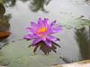 Nymphaea 'Turtle Island Violicious' ISG (HxT) Water Lily Klong15 008 (Klong15 Waterlily) Tags: turtleisland violiciouswaterlily thailandwaterlily isgwaterlily intersubgenericwaterlily purplewaterlily hxtwaterlily nymphaea