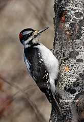DB7_8032 (DouglasJBrown) Tags: djbphoto nature nikonafsnikkor300mmf28gedvrii birdsinbc hairy woodpecker
